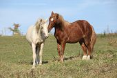 foto of stallion  - Two young stallions playing together on pasturage - JPG