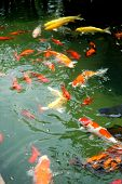 pic of fish pond  - Beautiful oriental koi fish in ornamental pond - JPG