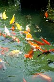 foto of koi fish  - Beautiful oriental koi fish in ornamental pond - JPG