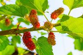 pic of mulberry  - Fresh ripe mulberry berries on tree  - JPG