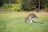 image of kangaroo  - Wild kangaroos seen on a field near Melbourne - JPG