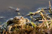 picture of mating  - a frog in water at mating time - JPG