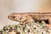 picture of lizard skin  - Sand lizard  - JPG