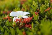 stock photo of night-blooming  - Plumeria flowers are most fragrant at night - JPG