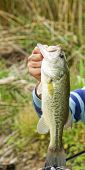 picture of bass fish  - black bass fished in a small lake in la spezia - JPG