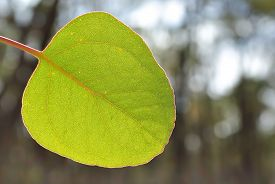 picture of eucalyptus leaves  - Young green eucalyptus leaf over blur background - JPG