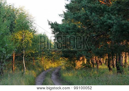 Pines, Birch Trees And Country Road In Summer Sunrise