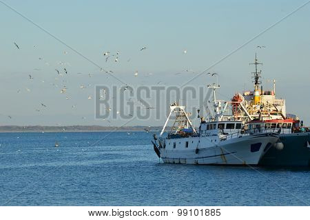 The Flight Of Seagulls Between The Fishing Boats In The Port Of Anzio
