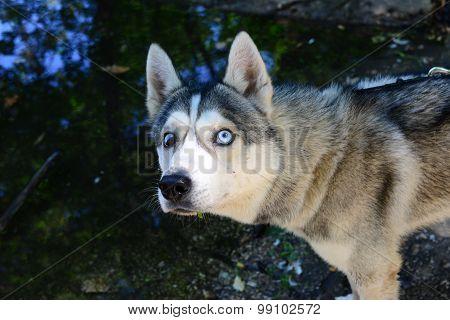 male Husky afraid of water