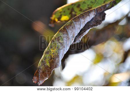 Walnut leaves