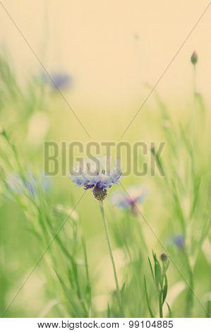 Beautiful cornflowers with sunlight