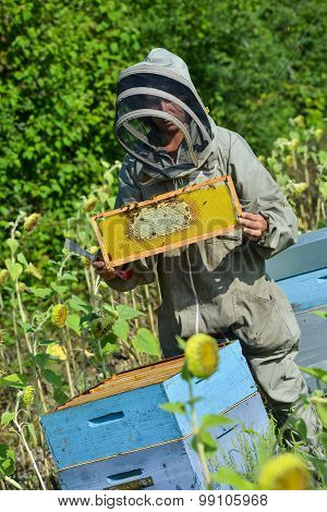 Bee Keeper Working With Bee Hives In A Sunflower Field.