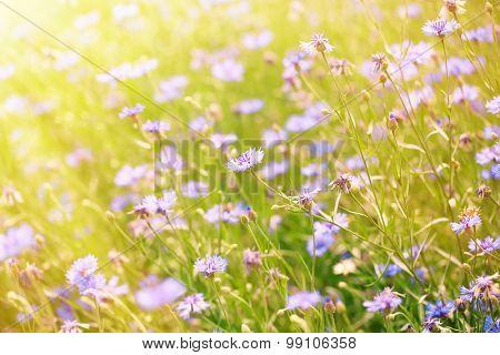Beautiful cornflowers in the field with sunlight