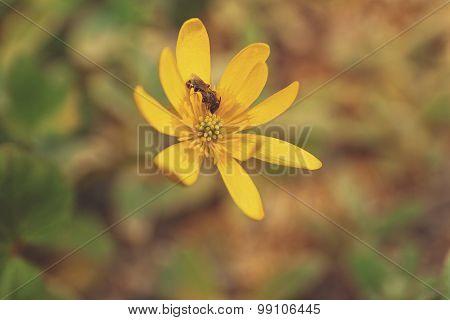 Lesser celandine flower with sunlight