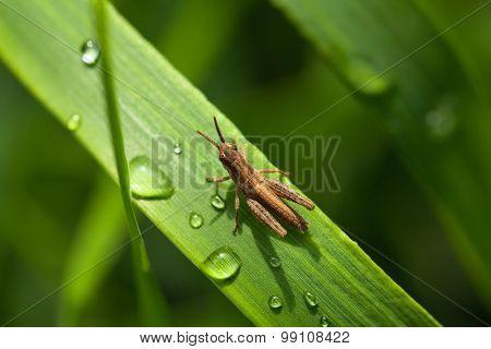 Raindrops And Grasshopper
