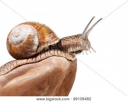 Garden Snail On Rock Top
