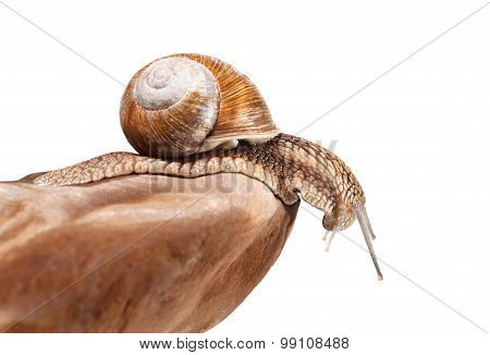 Snail Looking Down From Rock, Side View