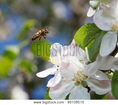 Bee Flying In  Orchard