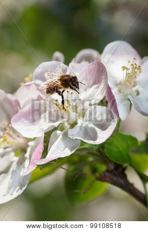 Bee Working On Apple Flower In Spring