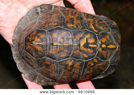 Box Turtle (terrapene Carolina) Carapace