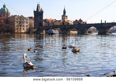 sunset view of swans in Vltava river, Charles bridge and Prague old town, Czech Republic