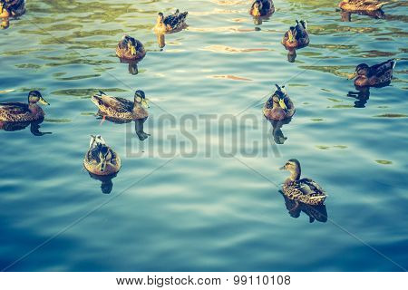 Vintage Photo Of Herd Of Wild Ducks Swimming In Small Pond
