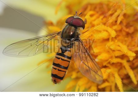 Hover fly  Close up