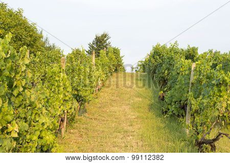 Wineyard In Serbia