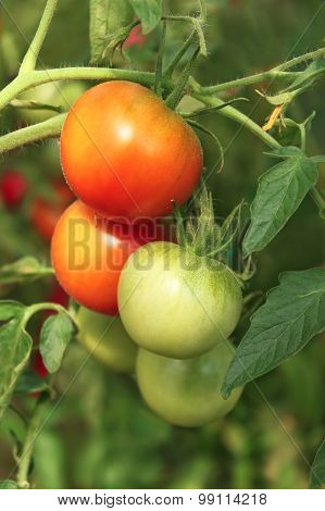 Bunch Of Ripening Tomatoes