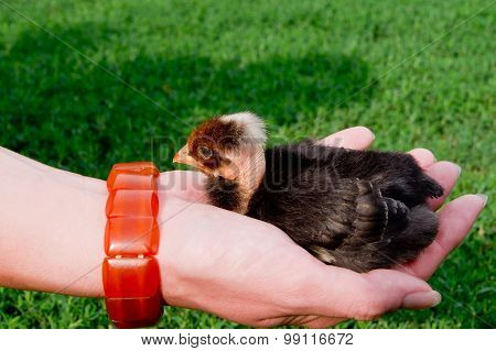 chick in hand