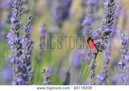 Red butterfly on blooming Lavender flowers
