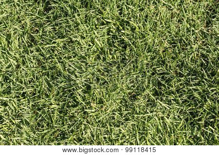 Texture of the field of green grass