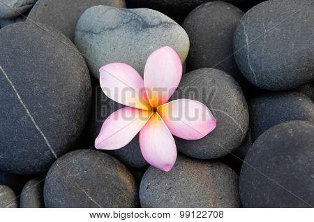 frangipani ,with stones background
