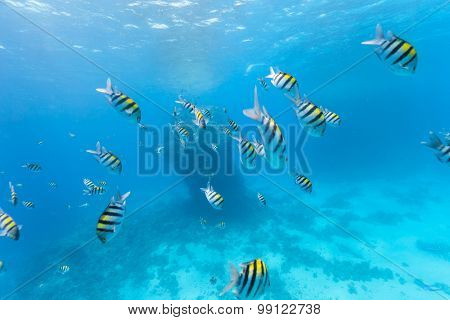 Underwater photo of flock of  Indo-Pacific sergeant