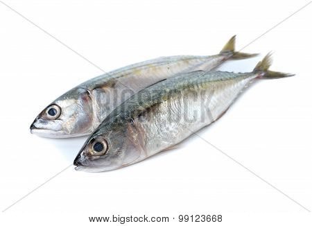 Fresh Whole Round Indian Mackerel On White Background