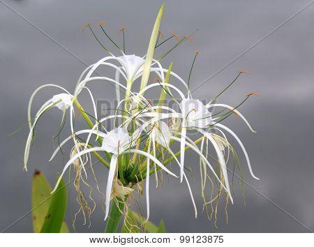 Spider Lily (hymenocallis Speciosa)