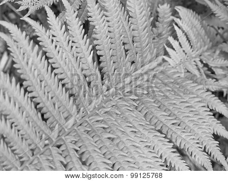 Silver Fern Background