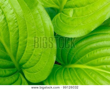 Green Ribbed Hosta Leaves Background