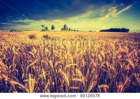 Vintage Photo Of Cereal Field Landscape