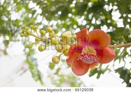 Bouquet Of Couroupita Guianensis Or Cannonball Flower