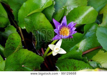 Lotus In Bowl