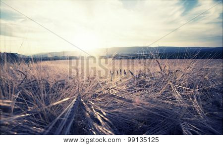 Vintage photo of golden wheat field in the sunset