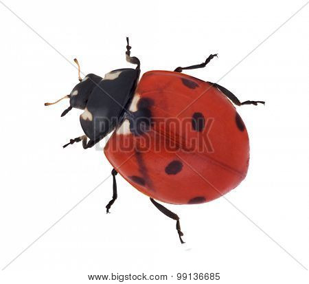 red ladybug isolated on white background