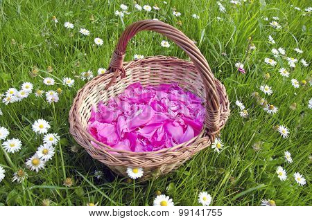 Pink European Peony Petals In The Woven Wooden Basket