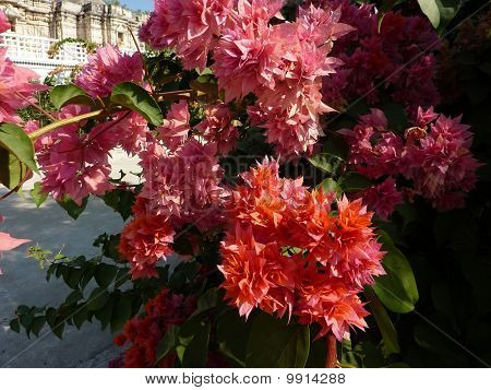 Bougainvillea Growing Outside Jain Temples