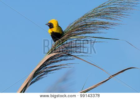 Golden Bishop Bird