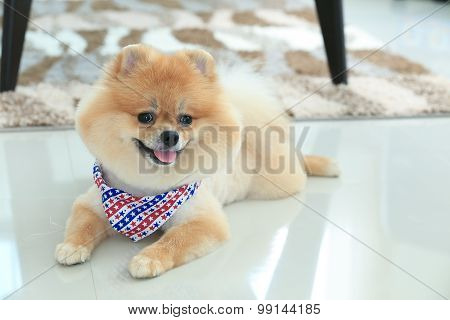 Pomeranian Dog Puppy Cute Pet In Home