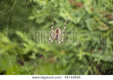 Spider In Its Net