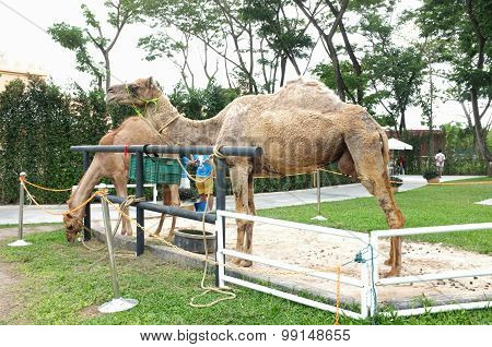 Camel in farm for tourist recreation