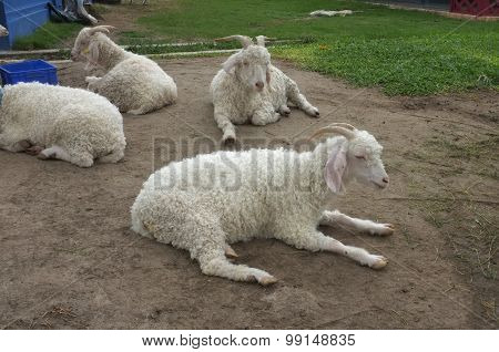 White goat laying on sand ground